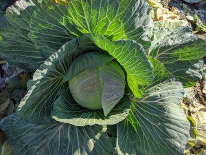 野菜の豆知識 part2 「キャベツ」