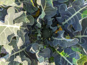 野菜の豆知識 part6 「ブロッコリー」